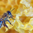 A bee on a honeycomb — Stock Photo