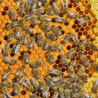 Stock Photo: Bees on honeycomb frame