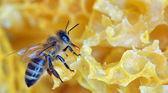 Een honingbij op een honingraat — Stockfoto