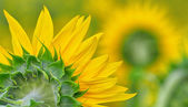 Back side of sun flower — Stock Photo