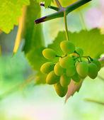Unripe grape in vineyard — Stock Photo