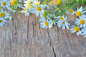 Fresh chamomile flowers — Stock Photo