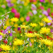 Beautiful yellow flowers in field — Stock Photo