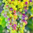 Unripe grapes — Stock Photo