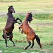 Fight of horses — Foto de Stock