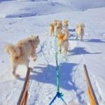 Dog sledging — Stock Photo