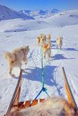 Sledging köpek — Stok fotoğraf
