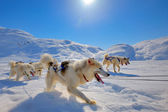 Sled dogs running in Greenland — Stock Photo