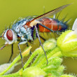 Macro fly portrait — Stock Photo