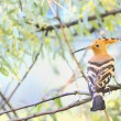 Eurasian Hoopoe — Stock Photo