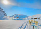 Dog sledging in spring time in greenland — Stock Photo