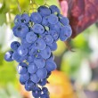 Ripe grapes — Stock Photo #39385443