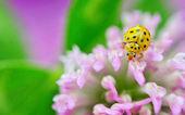 Yellow ladybug on violet flowers — Stock Photo