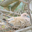 Mourning Dove — Stock Photo #43299849