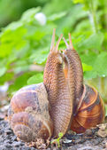 Love snails — Stock Photo
