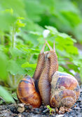 Love snails — Stock Photo
