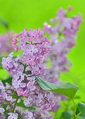 Purple violet lilac flowers — Stock Photo