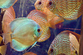 Symphysodon discus  fish  — Stock Photo
