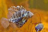Lion-fish — Stock Photo
