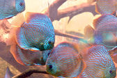Discus fish (Symphysodon) — Stock Photo