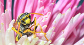 Wasp — Stock fotografie