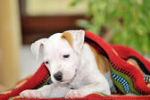 Puppy American Staffordshire Terrier — Stock Photo