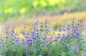 филиалы цветения лаванды — Стоковое фото
