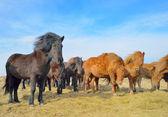 Icelandic free horses — Stock Photo