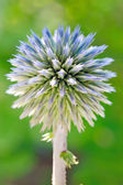 Blue globe thistle (Echinops)  — Stock Photo