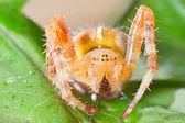 Araneus diadematus — Stock Photo