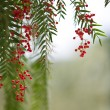 Stock Photo: Tree leaves and berries