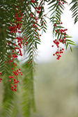 Tree leaves and berries — Stock Photo