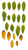 Ash leaves green and yellow — Stock Photo