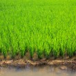 Green rice field — Stock Photo #14871109