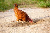 Brown chicken looking at sand — Stock Photo