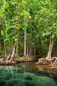 Tha Pom, the mangrove forest in Krabi, Thailand — Stock Photo