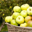 Cooking apples gathered in Autumn — Stock Photo