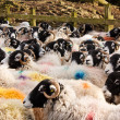 Stock marked sheep in pen - Stock Photo