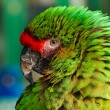 Green Parrot Portrait — Foto Stock