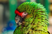 Green Parrot Portrait — Stock Photo