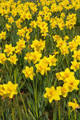 Spring daffodils background — Stock Photo