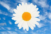 Ox eye daisy flower head isolated — Stock Photo