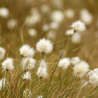 Cotton Grass in bloom — Stock Photo #37989919