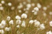 Cotton Grass in bloom — Stockfoto