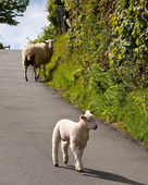 Lambs playing on road — Stock Photo