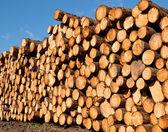 Freshly cut timber — Stock Photo