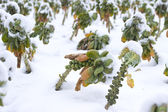 Fields with vegetables under the snow — Stock Photo