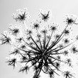 Monochrome View of a Queen Anne s Lace flower from underneath2 - Stock Photo