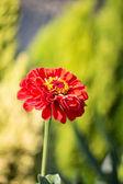 Un fiore rosso — Stock Photo