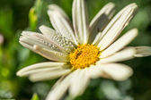 Drops daisy — Stock Photo